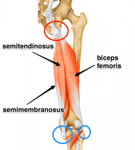 The hamstring muscle group | Chiro Health & Rehab Centre, Concord West, Sydney